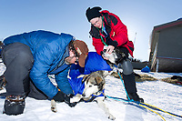Veterinarian Elizabet King examines a Bruce Linton dog as Bruce removes the dog's booties shortly after is arrival at the Shageluk village checkpoint during the 2011 Iditarod race.