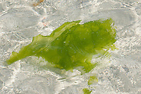 """Meersalat, Meerlattich, Meer-Salat, """"Fischersalat"""", abgerissener Thalli treibt im Meerwasser, Ulva lactuca, Grünalge, Sea lettuce"""