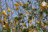 Lemons hanging on tree (Licence this image exclusively with Getty: http://www.gettyimages.com/detail/sb10069714k-001 )