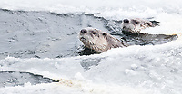 I enjoyed my best otter shoot in a few years during this trip, as this pair explored near the road for an hour or so.