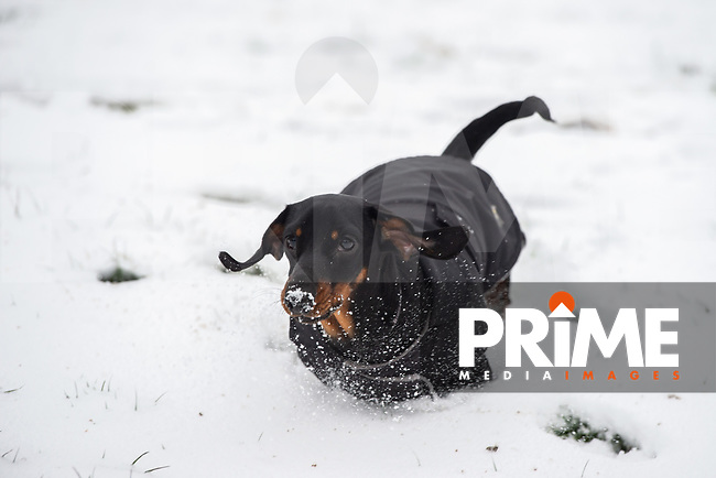 A Dachshund dog having fun in the park following Heavy Snowfall at Sidcup, Kent, England on the 8 February 2021. Photo by Alan Stanford.