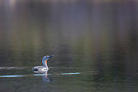 Red-throated loon in a small tundra pond in Denali National Park, Alaska.