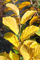Hamamelis intermedia var. mexicana fall foliage