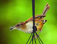 Carolina wren with bug for babies