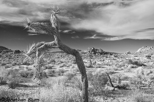 Bent Tree, Joshua Tree National Park