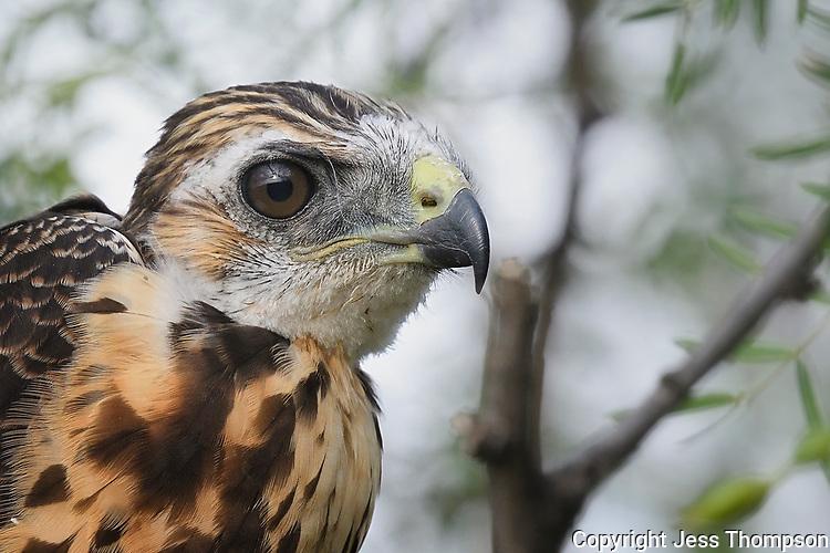Portrait of immature Swainson's Hawk, roadside south of Fort Stockton, Texas