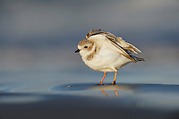 Piping Plover (Charadrius melodus), adult stretching, Port Aransas, Mustang Island, Texas Coast, USA