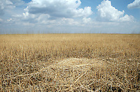 The nest of a Red-Crowned Crane, a threatened species at the Zhalong Wetlands, Heilongjiang Province. China. 2011