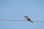 Valley Center, San Diego, California; a Western Kingbird (Tyrannus verticalis) feeding on a dragon fly while perched on a power line in afternoon sunlight