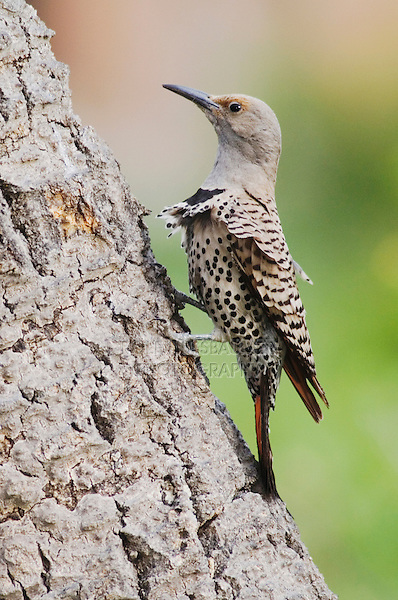 Northern Flicker,Colaptes auratus,Red-shafted form,female perched, Rocky Mountain National Park, Colorado, USA, June 2007