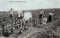 Europe/France/89/Yonne/AOC Chablis: Carte postale ancienne travail de la vigne