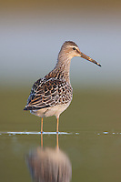 Stilt Sandpiper (Calidris himantopus), East Pond, Jamaica Bay Wildlife Refuge
