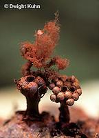 SD12-001x  Multigoblet Slime Mold - sporangia releasing capillitium and spores - Metatrichia vesparium