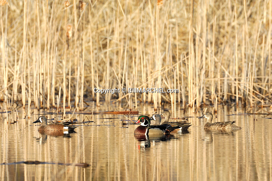 00315-063.02 Blue-winged Teal flock and drake wood duck on the water of cattail marsh.  Wetlands, hunt, waterfowl.