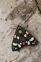 Schönbär, Callimorpha dominula, Panaxia dominula, scarlet tiger moth, L'écaille marbrée, écaille rouge, Bärenspinner, Arctiidae, Arctiinae, erebid moths, erebid moth, woolly bears, woolly worms