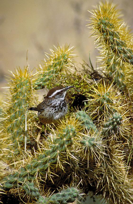 Cactus Wren (Campylorhynchus brunneicapillus) is the official bird for the State of Arizona. This Cactus Wren is perched in front of his nest located in a Cholla Cactus. cacti, desert vegitation, flowering plants, animals, birds, wildlife. Cactus Wren. Ar
