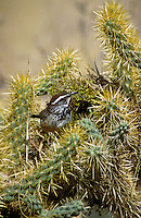 Cactus Wren (Campylorhynchus brunneicapillus) is the official bird for the State of Arizona. This Cactus Wren is perched in front of his nest located in a Cholla Cactus. cacti, desert vegitation, flowering plants, animals, birds, wildlife. Cactus Wren. Ar