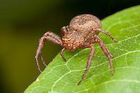 Ground Crab Spider (Xysticus ferox) - Immature Female, Ward Pound Ridge Reservation, Cross River, Westchester County, New York
