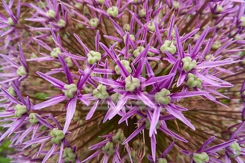 Switzerland. Seed pods of Allium flower