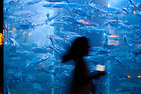 Mediterranean sea bass in an aquarium at the Musée Océanographique, Monaco, 5 July 2013