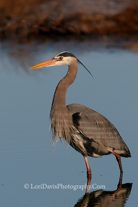 Great Blue Heron #H2
