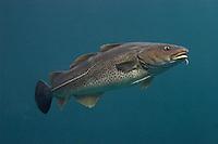 Europäische Meeresfische