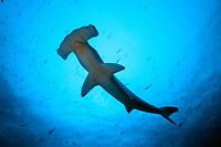 scalloped hammerhead sharks, Sphyrna lewini, Galapagos Island, Ecuador, Pacific Ocean