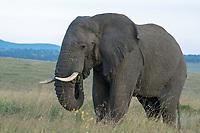 African Elephant, Loxodonta africana, in Maasai Mara National Reserve, Kenya