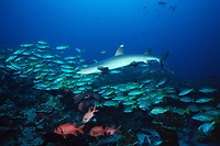 whitetip reef shark, Triaenodon obesus, and school of snappers, Cocos Island, Costa Rica, East Pacific Ocean