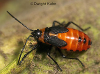 HE05-033z Large Milkweed Bug Nymph, Oncopeltus fasciatus