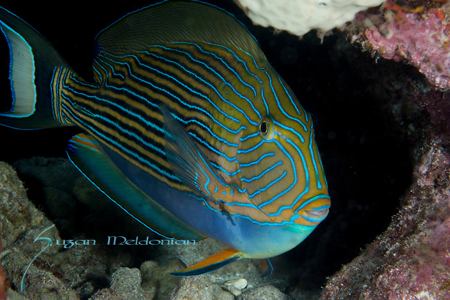 Striped Surgeonfish,Acanthurus lineatus