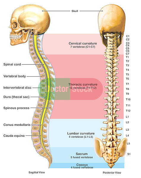 Accurately depicts the anatomy of the spine, or vertebral column. Shows the skeletal and neural elements, including the spinal cord, vertebral bodies, intervertebral discs, dura mater, conus medullaris and cauda equina.  Shows a posterior (back) view of the spine, labeling each vertebral level from C1 to the coccyx.  Illustrations are color-coded to show the location of the cervical, thoracic, lumbar, sacral and coccygeal curvatures.