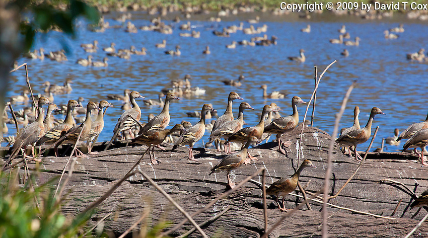 Plumed Whistling-Duck, Hasties Swamp NP, Queensland, Australia