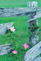 Wild rose and old fence. Near Alpine, Oregon.