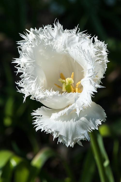 Tulip 'Honeymoon (Fringed Group), late April.