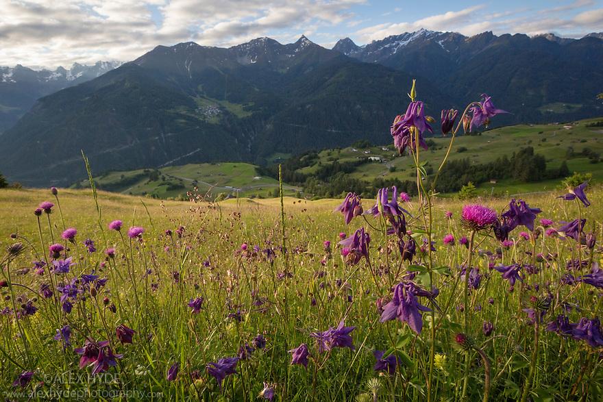 Dark Columbine {Aquilegia atrata} and Tuberous Thistle {Cirsium tuberosum} flowering in tradional hay meadow. Nordtirol, Austrian Alps. June.