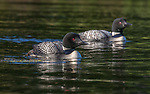 Common loons on the Chippewa Flowage in northern Wisconsin.