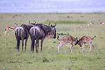 Kenya, Olare Motorogi Conservancy, common wildebeest (Connochaetes taurinus)