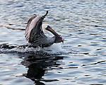 A pelican sprints away with a fish.  Tarpon Springs, Florida, USA.