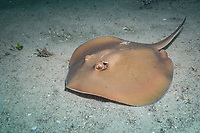 common stingaree, Trygonoptera testacea, endemic, Fly Point, Port Stephens, New South Wales, Australia, South Pacific Ocean