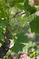 Europe/France/Aquitaine/33/Gironde/Margaux: Ile Margaux - Domaine de l'Ile Margaux -  Vigne en fleur, cépage Merlot