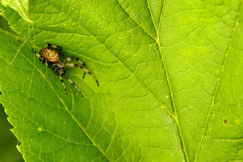 Garden Spider in Hatcher's Pass, Alaska.