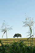 Fazenda Cagibi, Brazil. solitary tree with grasses.