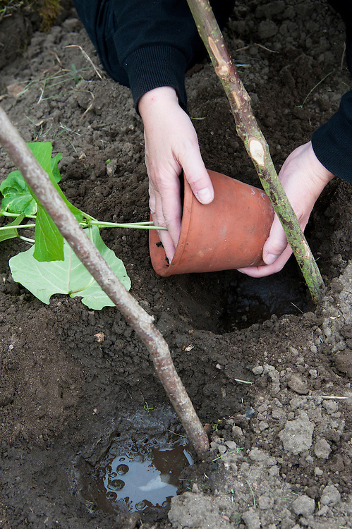 Planting out runner bean seedlings. Sequence 1, image 1 of 5.