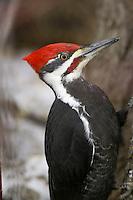 Male Pileated Woodpecker portrait