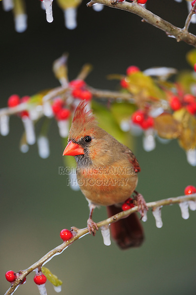 Northern Cardinal (Cardinalis cardinalis), female on ice covered Possum Haw Holly (Ilex decidua) berries, New Braunfels, San Antonio, Hill Country, Central Texas, USA