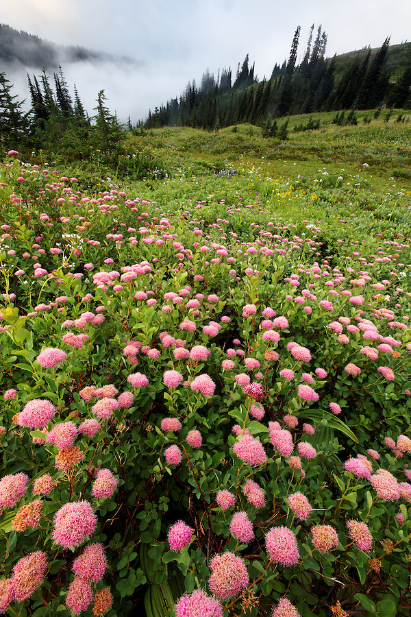 Field of pink Rosey Spirea, Edith Creek Basin, Paradise, Mount Rainier National Park, Washington, USA