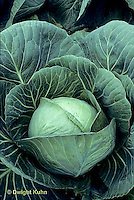 HS37-007b  Cabbage - Perfect Action variety