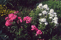 Phlox paniculata, pink and white mix