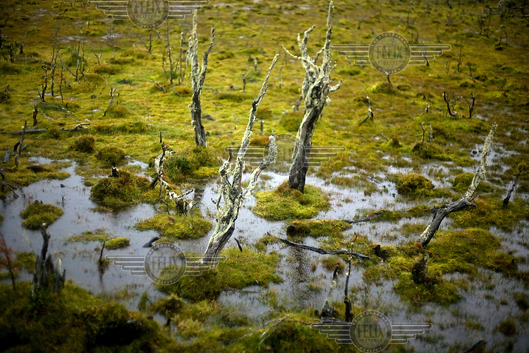 Dead trees stand in a marsh in Tierra del Fuego National Park.